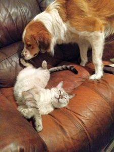 A Siamese-mix cat lying on a couch, being sniffed by an Australian Shepherd mix dog.