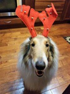 Sable and white Collie wearing reindeer antlers.