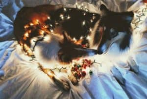 A sable and white Collie puppy and tricolor adult Collie lying next together, draped in Christmas lights.
