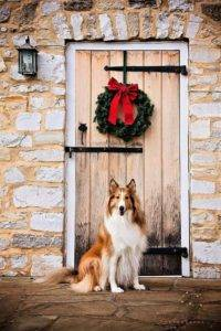 A Lassie lookalike seated in front of a wooden door with a Christmas wreath on it.