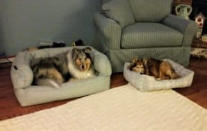 Kali the blue merle and Piper the Sheltie lying in separate dog beds next to each other.