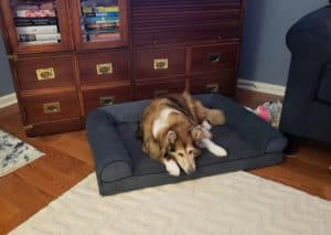 A good-sized, sable & white Shetland Sheepdog lying on a dog bed.