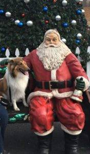 Sable and white Collie seated on a bench next to a Santa Claus statue, posing before a Christmas tree.