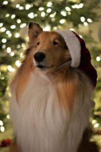 Beautiful sable and white Collie wearing a Santa hat at a rakish angle, sitting before a well-lit Christmas tree.