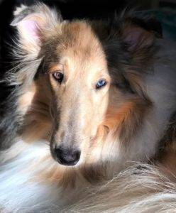 A Collie in the sunshine, with one bright blue and one brown eye, and silvery ear tips.