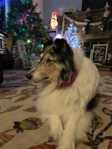 Alert blue merle Collie lying on the floor before a lighted Christmas tree.