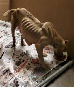 A tan American Pit Bull Terrier who looks like a walking skeleton, eating a bowl of food