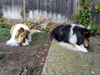 "The collies chewing on ""Dogswell Boundless Chew Bones!"""