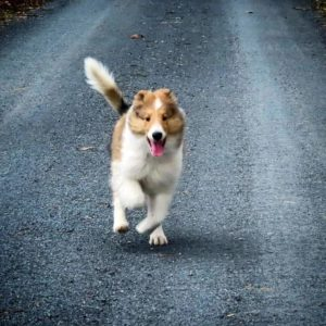 A joyful sable and white Rough Collie puppy with a Lassie blaze runs down the road