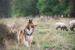 A sable and white Rough Collie stands near a flock of sheep