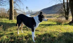 a tricolor smooth collie with upright ears stands on a sunny hillside