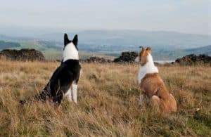 2 tricolor and sable smooth collies site beside one another on a hillside overlooking a mountainous valley