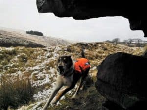 Finn wears an orange vest, barks happily at his find