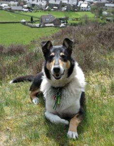 Finn, a tricolor Smooth Collie, lies on a hillside with houses like toys in the green valley beneath him