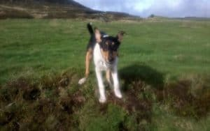 Tricolor Smooth Collie puppy who strongly resembles Finn running through a green field