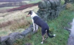 Rolf stands outside with his front paws on a stone wall