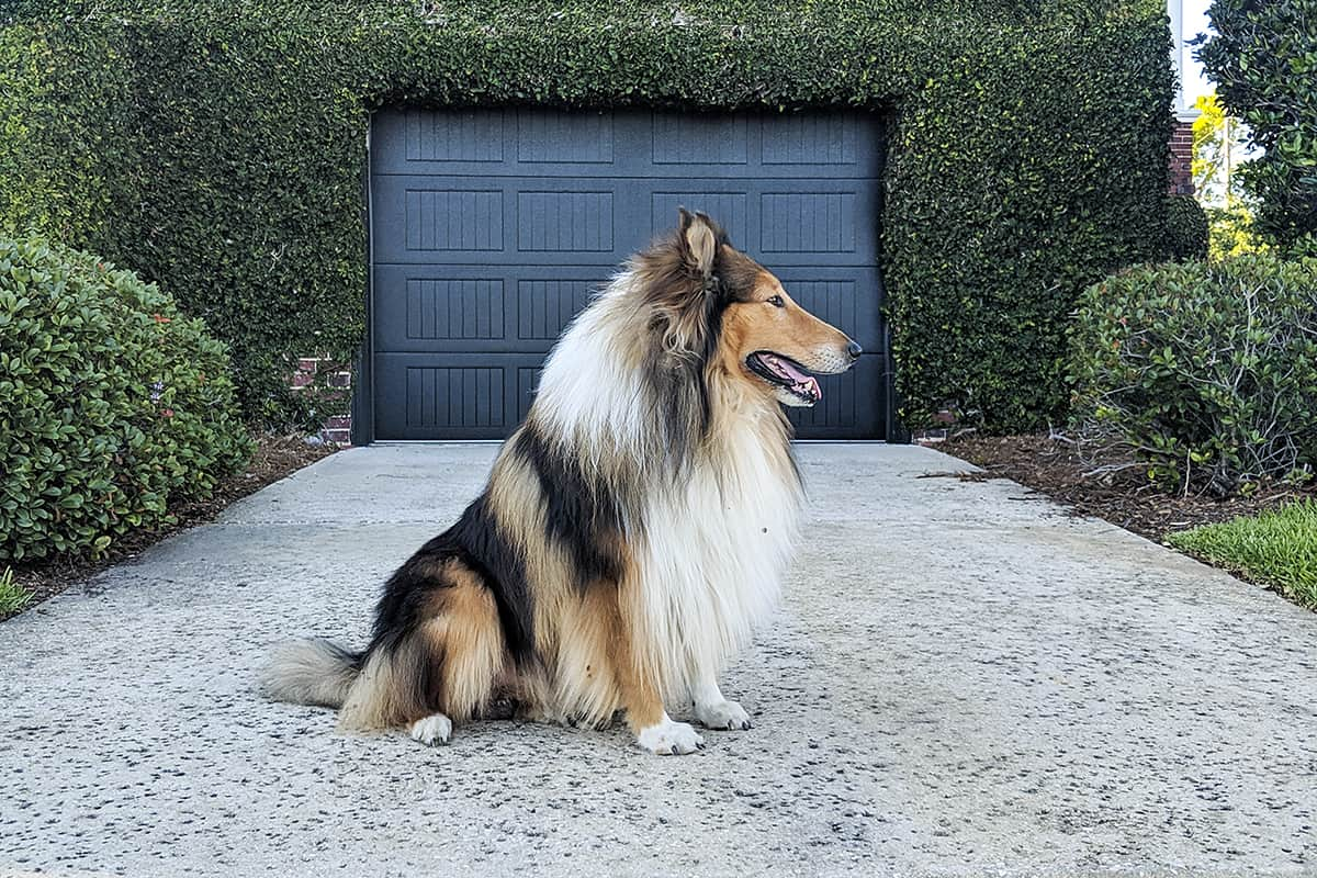rough collie gus doorway bushes