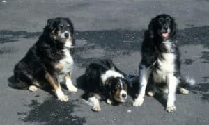 3 Border Collies side by side, 2 sitting on either side of Skye, who is lying down