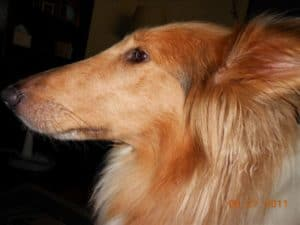Profile head shot of a sable and white Rough Collie