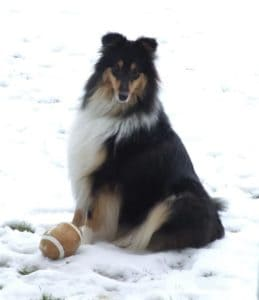 A tricolor Rough Collie sits outside in the snow with a toy football