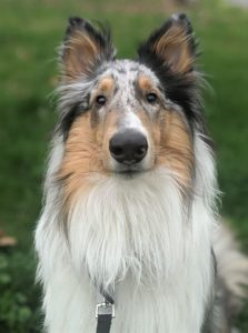 A blue merle Collie sits outside and looks intently up at the camera