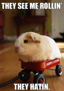 tan and white guinea pig in a tiny red wagon with the caption,