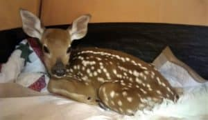 A spotted Whitetail Deer fawn lies curled amidst a nest of blankets in a tent