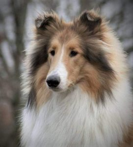 Headshot of a lovely sable and white Collie with a Lassie blaze down his muzzle