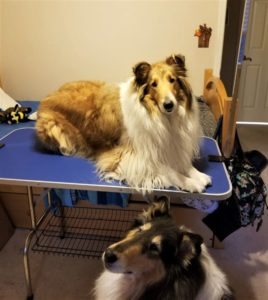 A sable and white Rough Collie lies on a grooming table, while a tricolor Collie sits on the floor nearby.