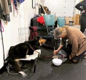 A tricolor Old Time Scotch Collie lies on a mat while a woman kneels in front of her moving kibble piece by piece from one bowl to another using chopsticks.