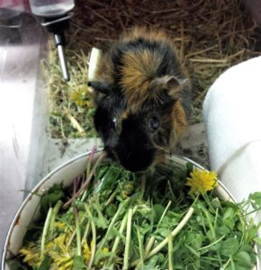 black and tan guinea pig eating out of a bowl filled with greens