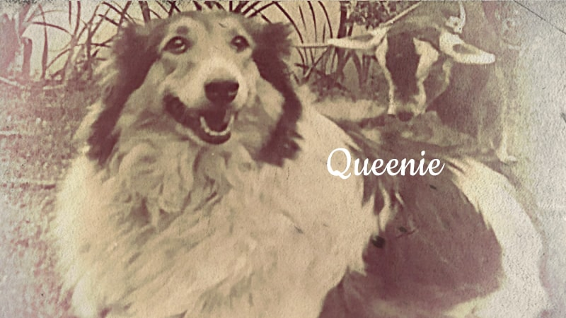 You are currently viewing Queenie, the Collie Who Saved A Child