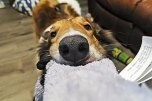 10 Low-to-No-Cost Games and Activities to Keep Your Collie Occupied
