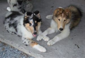 A blue merle (gray with black splotches and white and tan markings) lies next to a sable and white puppy