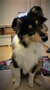 A tricolor (black, white, and tan) Rough Collie puppy sits on a table with its head cocked to the side, listening