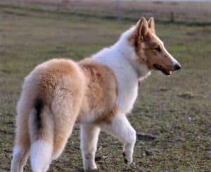 a fluffy, blue-eyed sable merle (tan and white with darker tan splotches) Rough Collie puppy walks through a sunlit pasture
