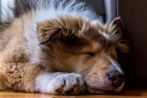 Sable and white Rough Collie puppy sound asleep on the floor indoors