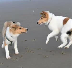 A sable and white Collie puppy bounces on the beach beside a white Collie puppy with sable spots