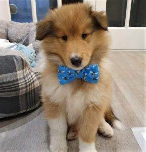 sable and white Collie puppy wearing a fabric bowtie that is blue with yellow bees on it