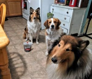 All 3 of my dogs lined up next to a bag of American Journey Landmark beef dog treats: Gustav, a big mahogany sable and white Rough Collie, Freckles, a red and white Australian Shepherd/Great Pyrenees crossbreed, and Yoshi, a smaller sable and white female Rough Collie with a white forehead star