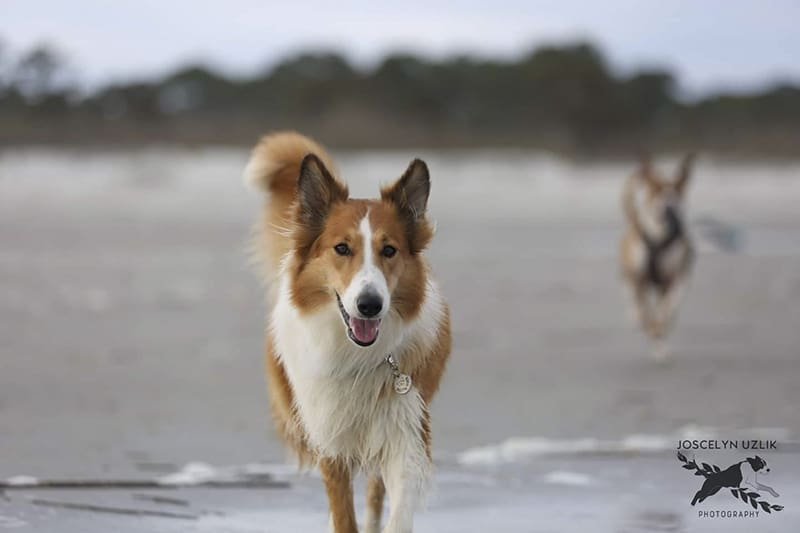 You are currently viewing How Smart Are Rough Collies?