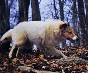 Vasya trots briskly through the forest