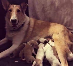 A sable merle (tan and white with some blue in eyes) Smooth Collie lies on her side smiling happily while nursing her litter of puppies