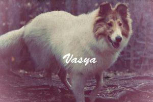Vasya, Rough Collie Psychiatric Service Dog in Training