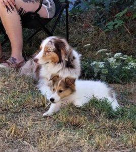 Tiny Vasya lies in the grass beside a red merle Australian Shepherd