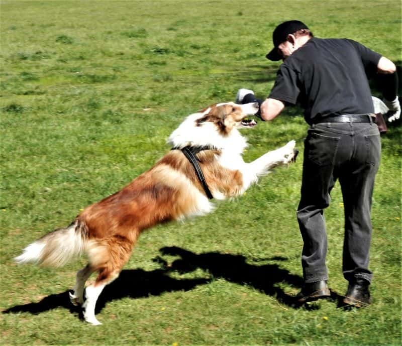A man in black with a bite sleeve on his arm trains his sable and white Rough Collie in protection work. The Collies is lunging for the man's arm