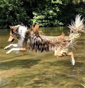 A wet sable and white OTSC (Old Time Scotch Collie) jumps gleefully into a river