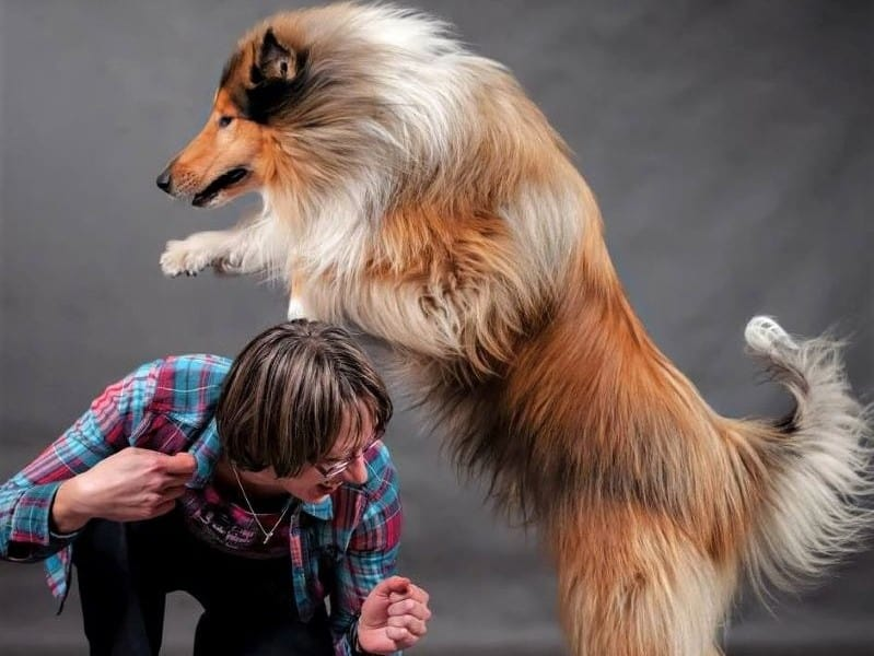 Sable and white Rough Collie leaping over the back of his handler, a woman crouched on the ground, smiling