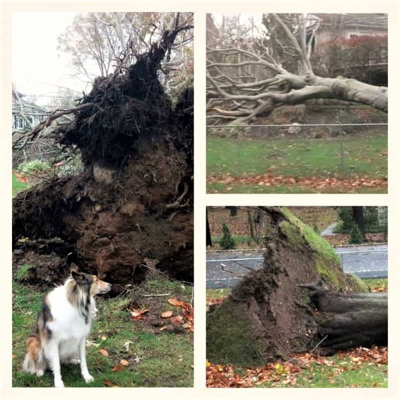 A sable and white Rough Collie sits beside a large fallen tree with a massive root system