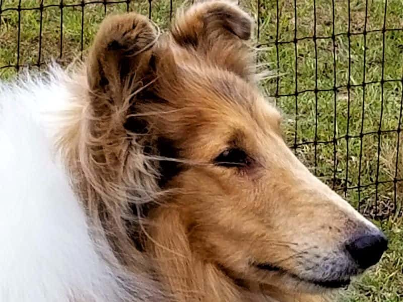Headshot of a lovely sable merle (light gold and white) Rough Collie with tipped ears and a keen expression